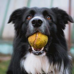 Hund_Ball_apportieren